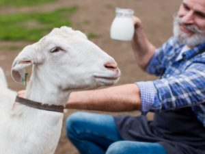 Goat Milk vs Cow Milk, Which One is  The Best?